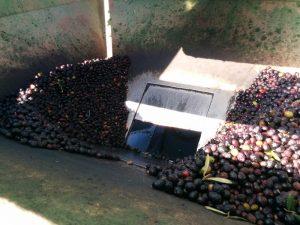 huile-olive-vierge-fabrication-benameji-2